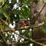 Slatey-tailed trogon in Corcovado National Park, Costa Rica
