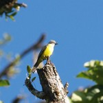 Tropical kingbird in Casa Orquideas, Costa Rica