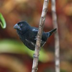Thick-billed seed-finch in Casa Orquideas, Costa Rica