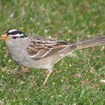 White-crowned Sparrow (West Taiga) in Kanab Canyon