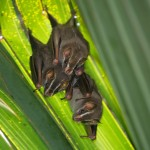 Thomas's Fruit-eating Bats (Artibeus watsoni) in Casa Orquideas, Costa Rica