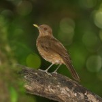 Clay-colored robin in Casa Orquideas, Costa Rica