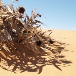 Dried flowers in Coral Pink Sand Dunes State Park