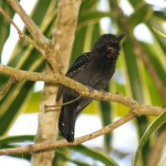 Black-hooded antshrike in Casa Orquideas, Costa Rica
