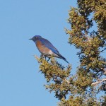 Western Bluebird (m) in Coral Pink Sand Dunes State Park