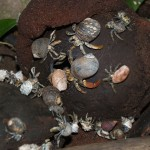 Hermit crabs in Coiba National Park, Panama