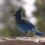 Steller's Jay in Bryce Canyon National Park