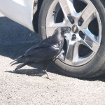 Common Raven who pecked at every hubcap in parking lot in Bryce Canyon National Park