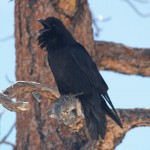 Common Raven in Bryce Canyon National Park