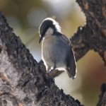 Pygmy Nuthatch in Bryce Canyon National Park