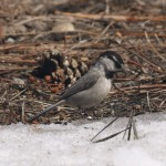 Mountain Chickadee in Bryce Canyon National Park