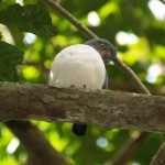 Plumbeous kite on Barro Colorado Island, Panama