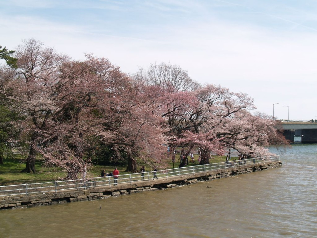 Cherry trees blooming on Potomac River near the 365 bridge