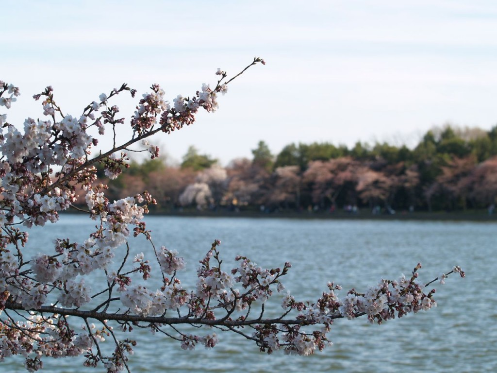 Cherry blossoms on Tidal Basin with more cherry trees blooming on other side