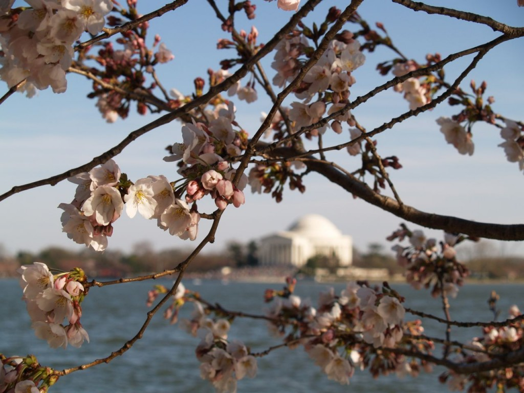 Cherry blossoms with the Jefferson Memorial