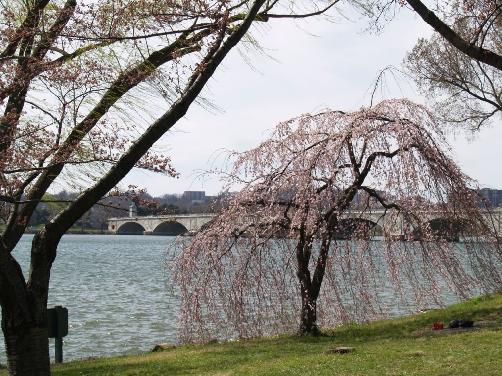 Cherry tree with Potomac River and Arlington Memorial Bridge