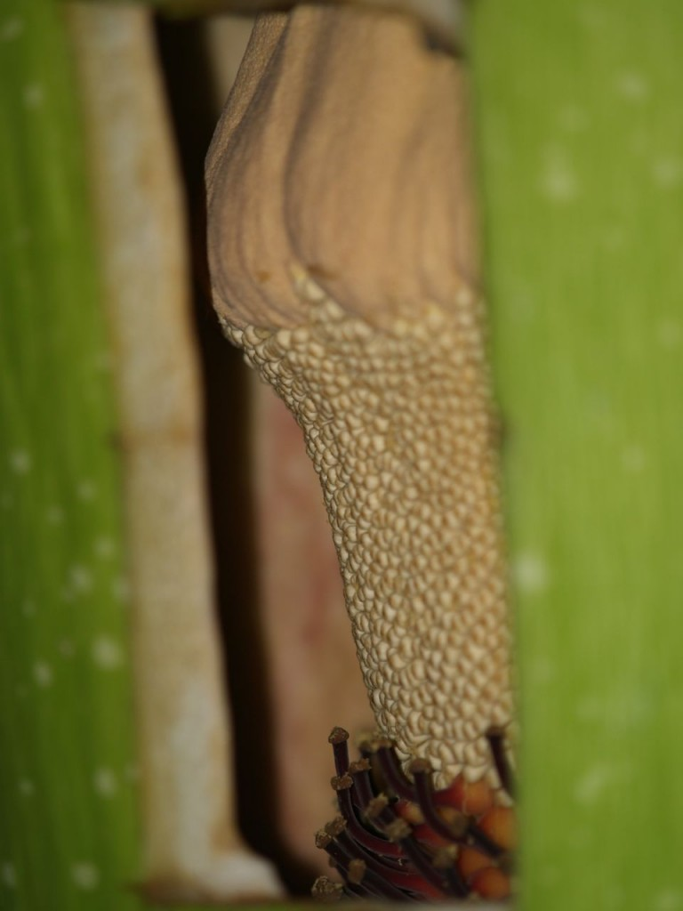 The male flowers form a ring around the base of the spadix above the ring of female flowers. A hole was cut in the base of the spathe to allow harvest of the pollen. The hollow area between the spathe and spadix at the base of the plant can be seen.
