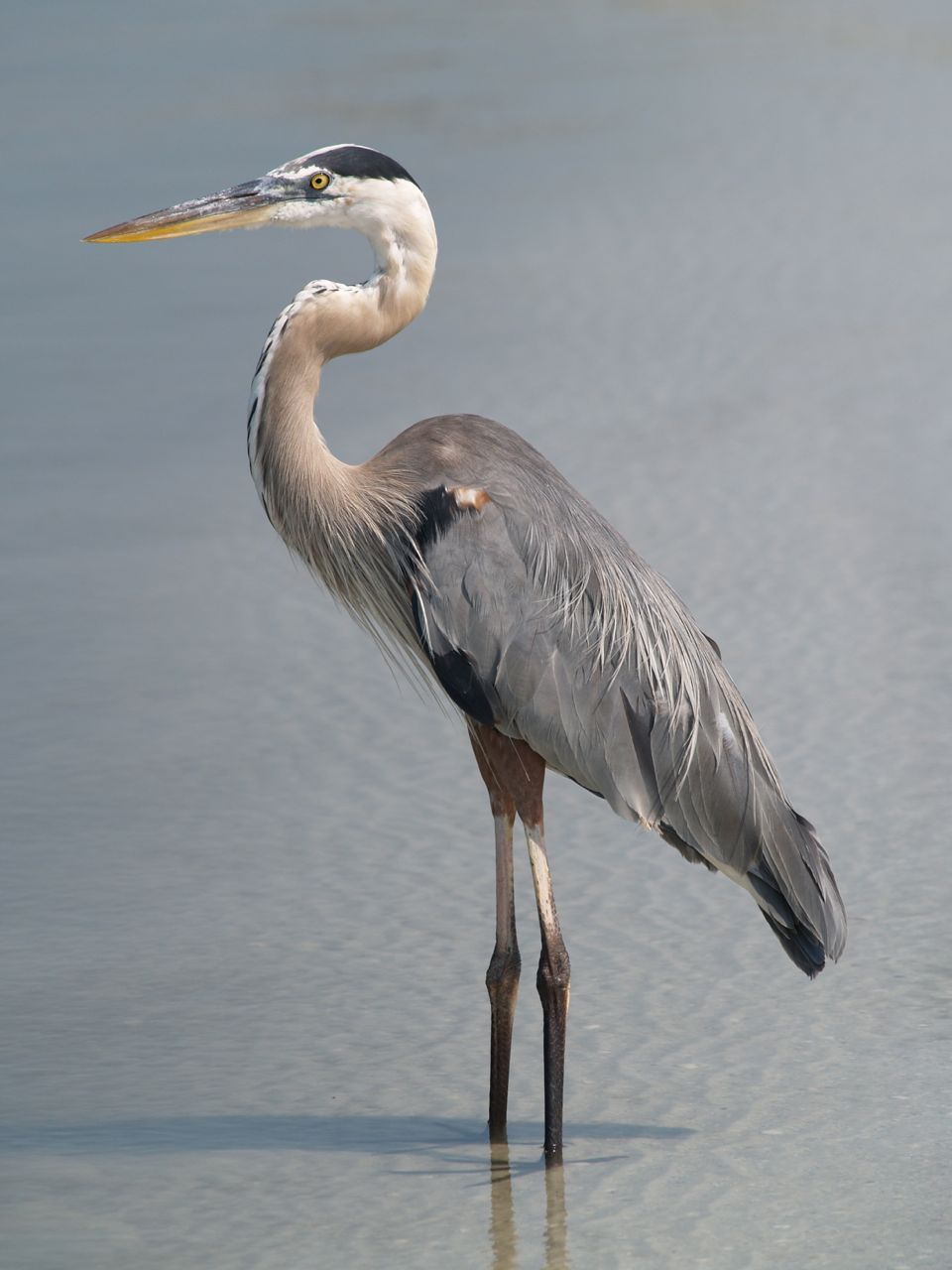 Great Blue Heron - Geeky Girl Engineer
