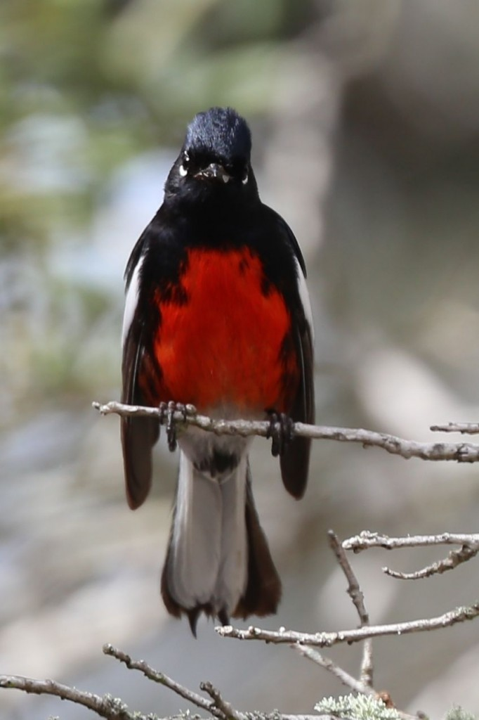 Painted Redstart