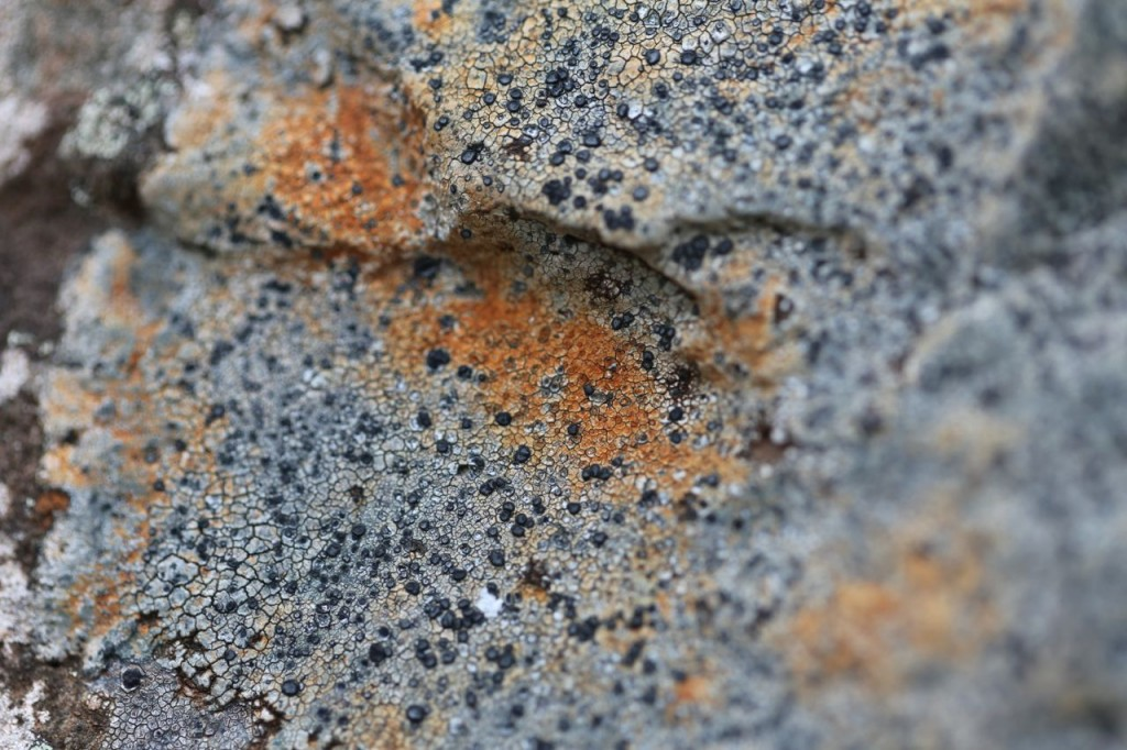 Orange and black Lichen
