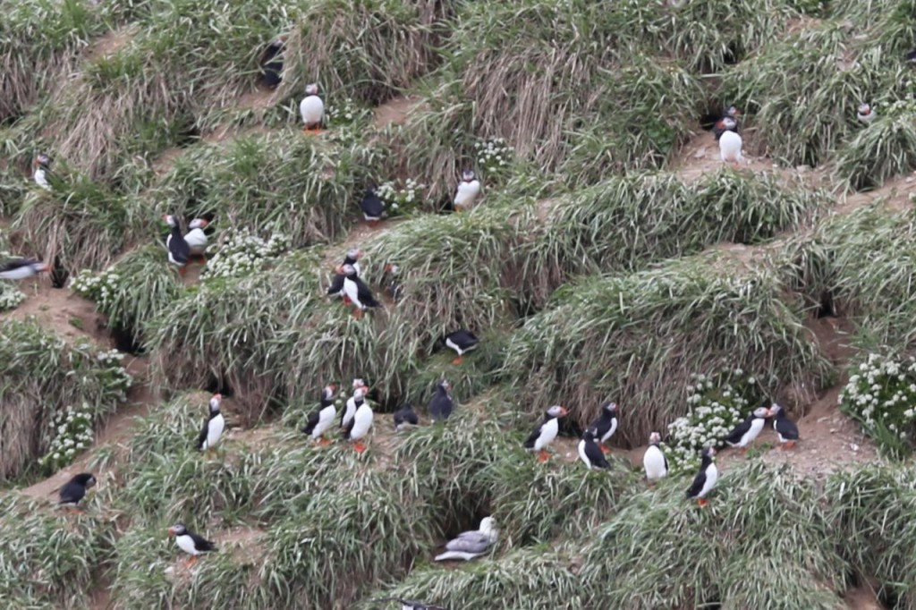 Puffins on island