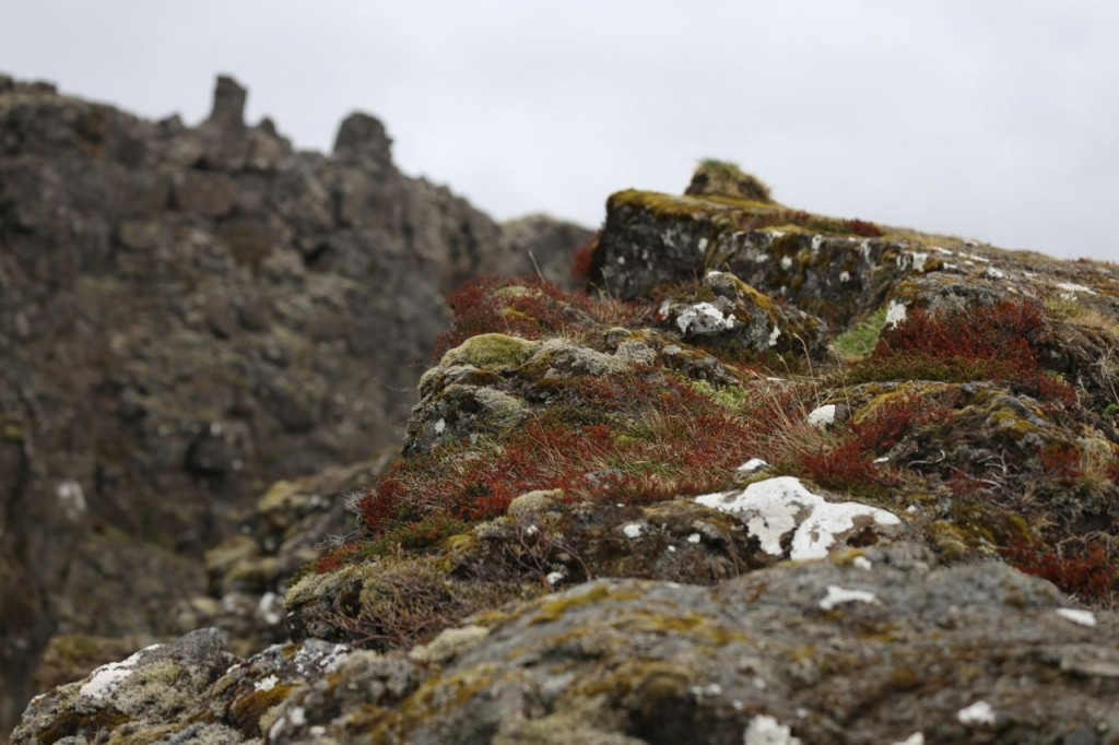 Moss on Thingvellir wall