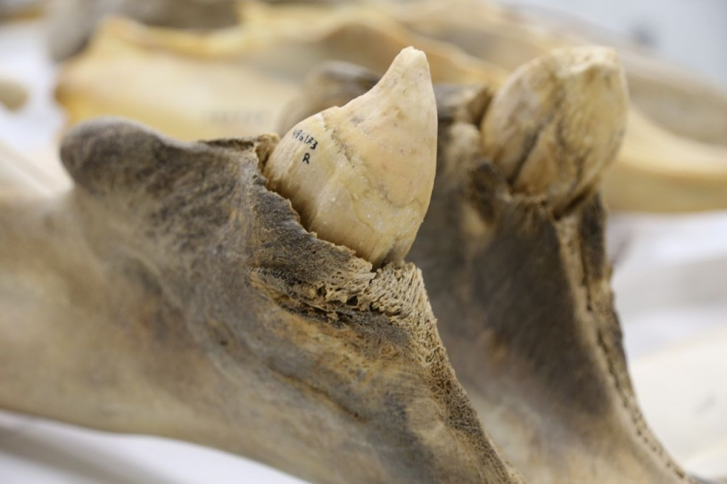 Male Blainville's beaked whale teeth
