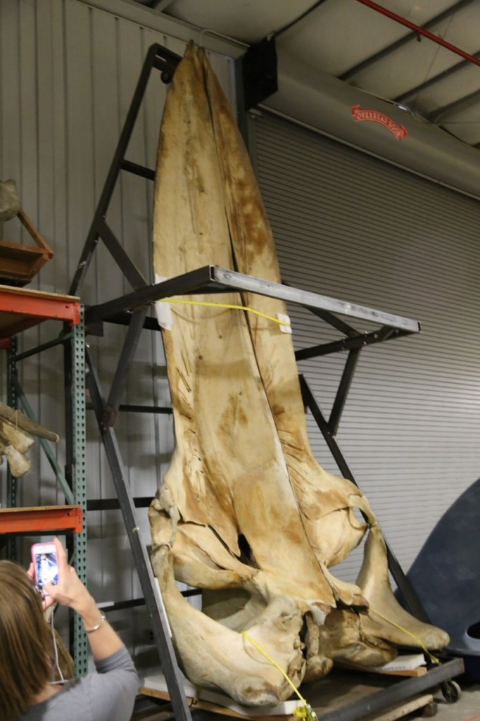 North Atlantic blue whale skull