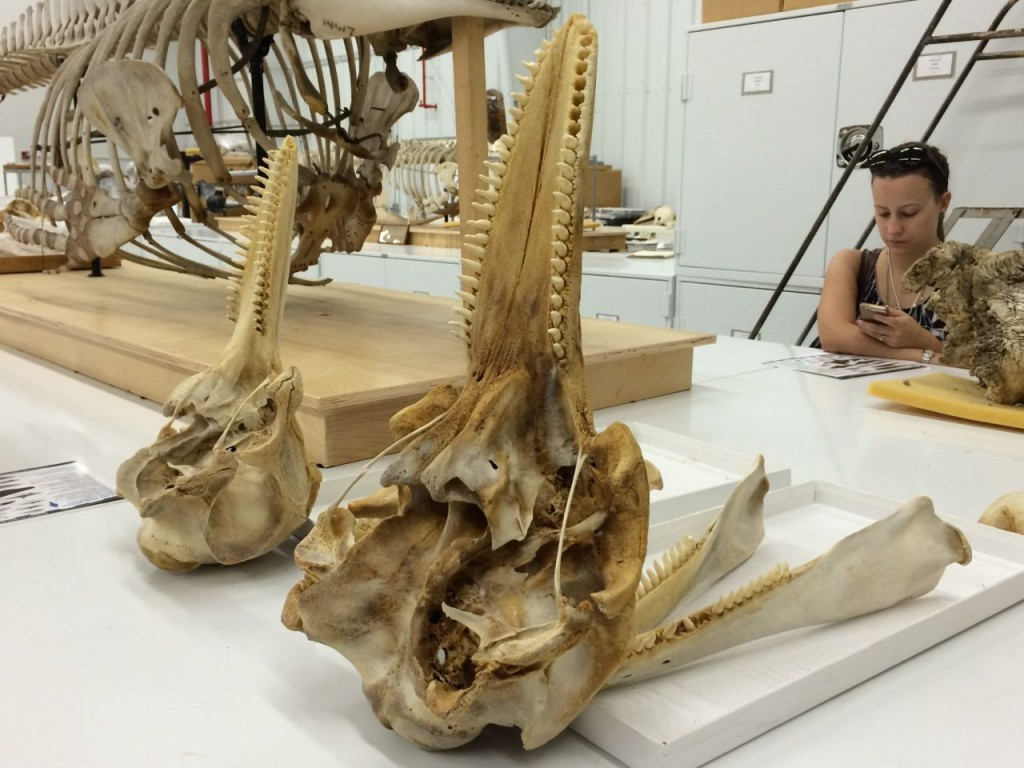 Bottlenose dolphin skulls, on left is coastal one, on right is offshore one