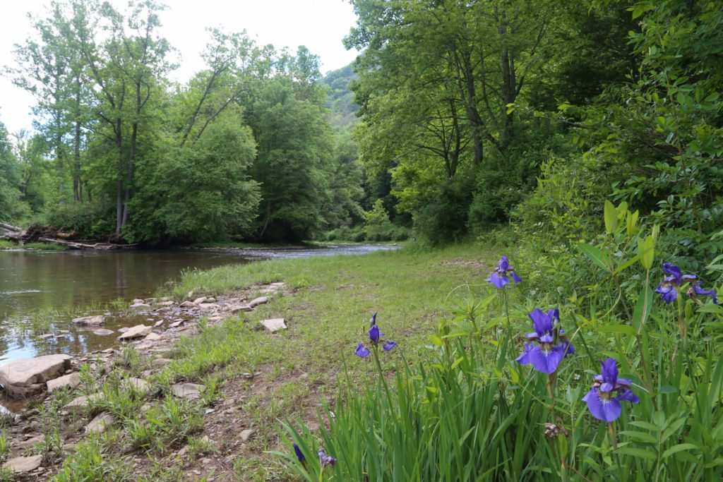 Irises by the Greenbriar River