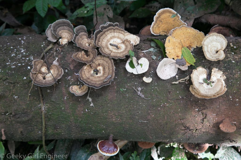 Shelf fungus on a fallen tree