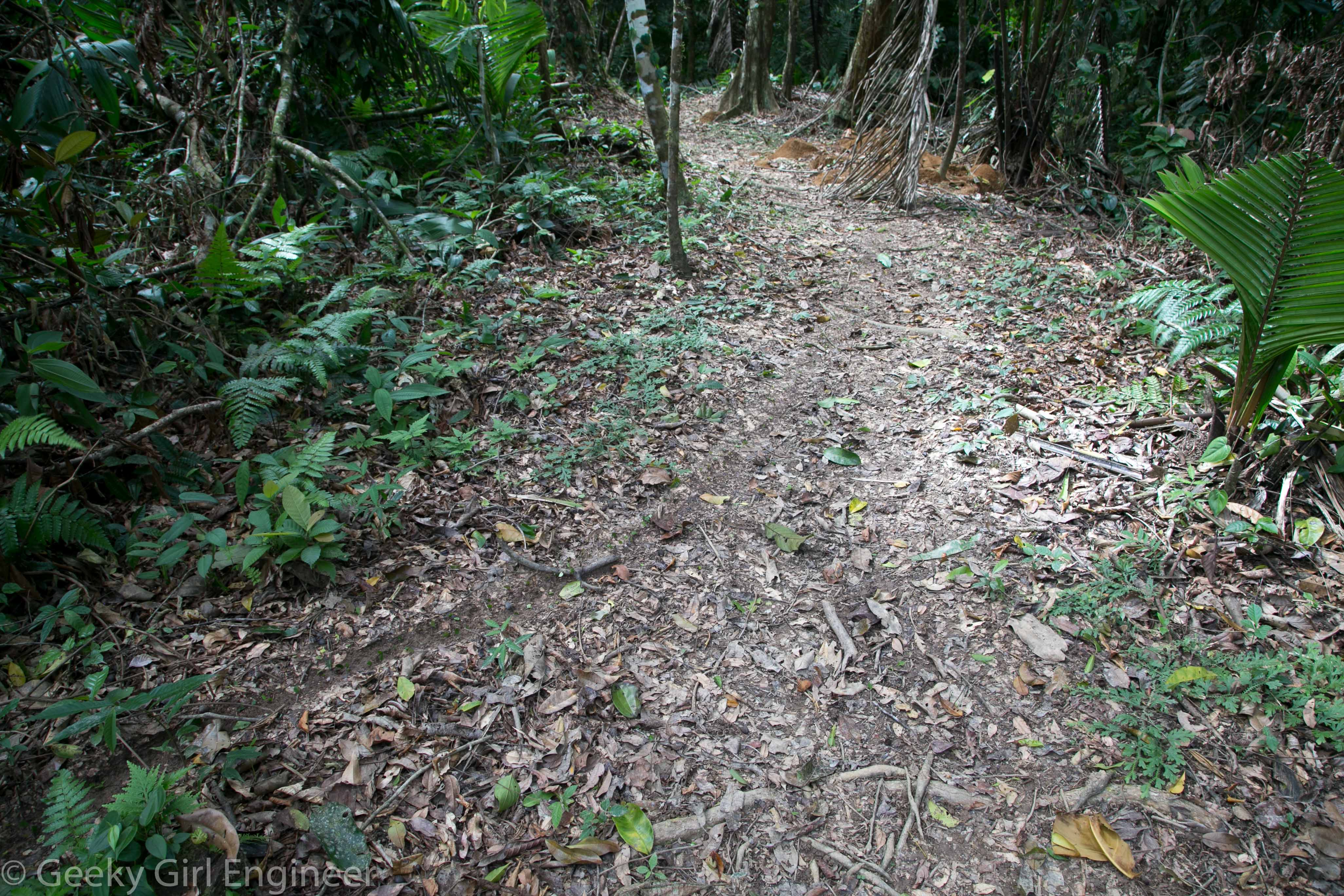 Leaf cutter ant highway, the mound can be seen in the far right underneath the dead palm frond