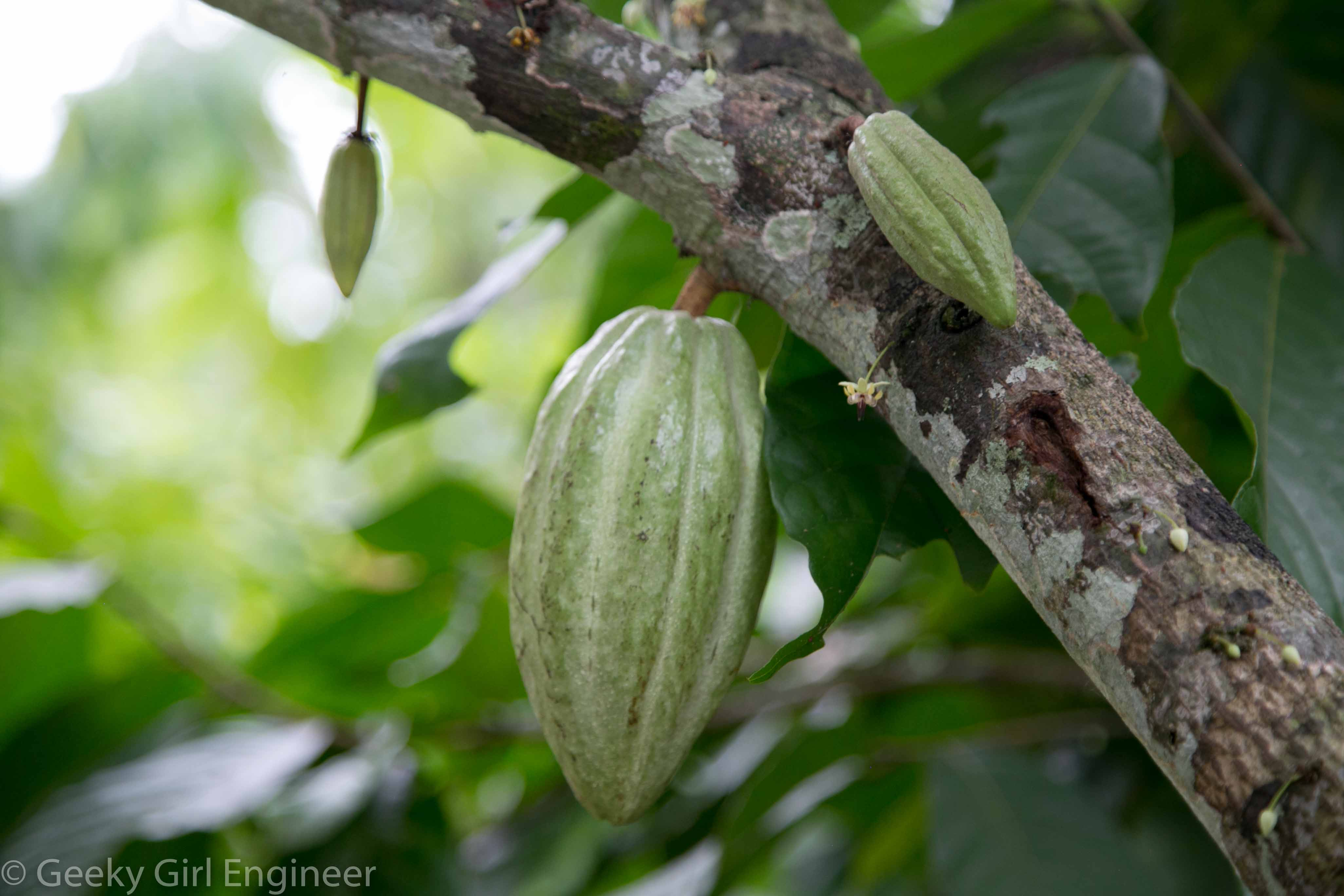 Unripe cacao fruit or seed pod