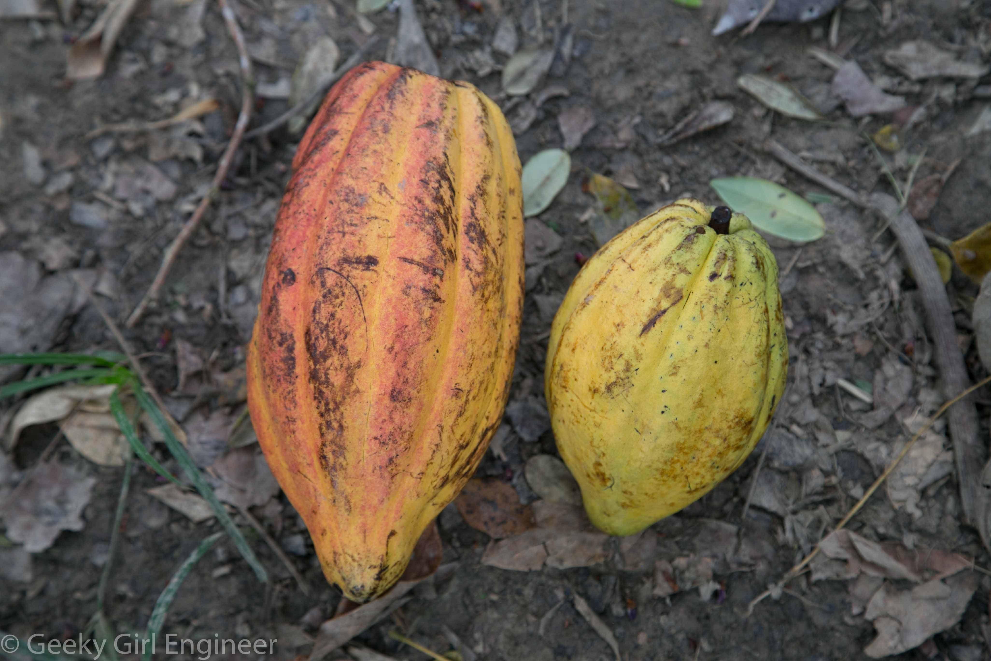 Ripe cacao fruit or seed pods