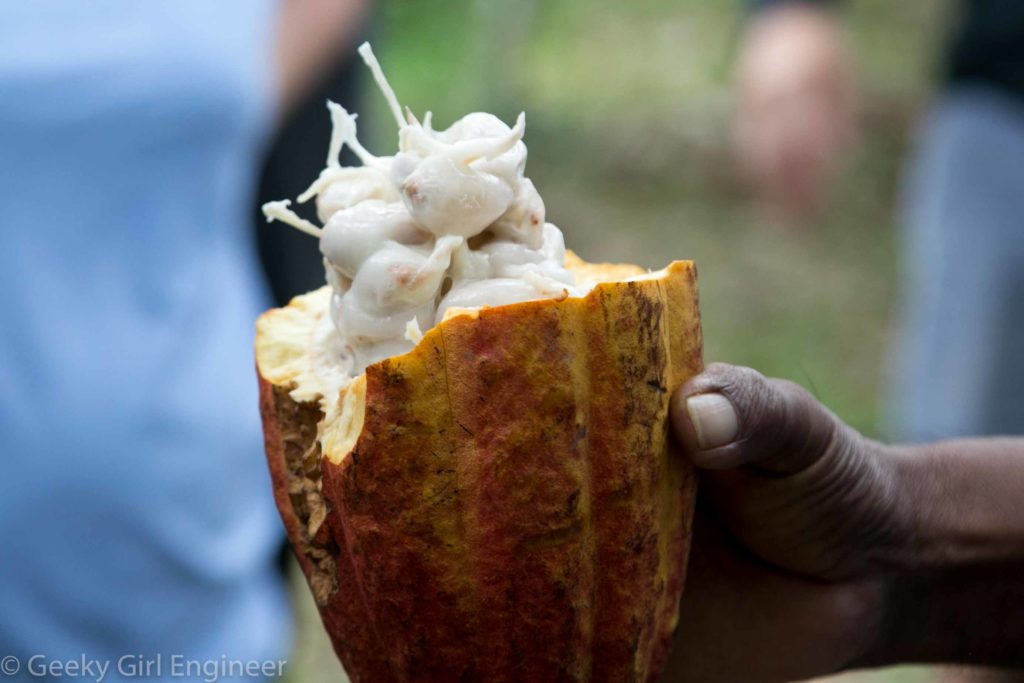 Cacao seed pod with seeds covered in white pulp